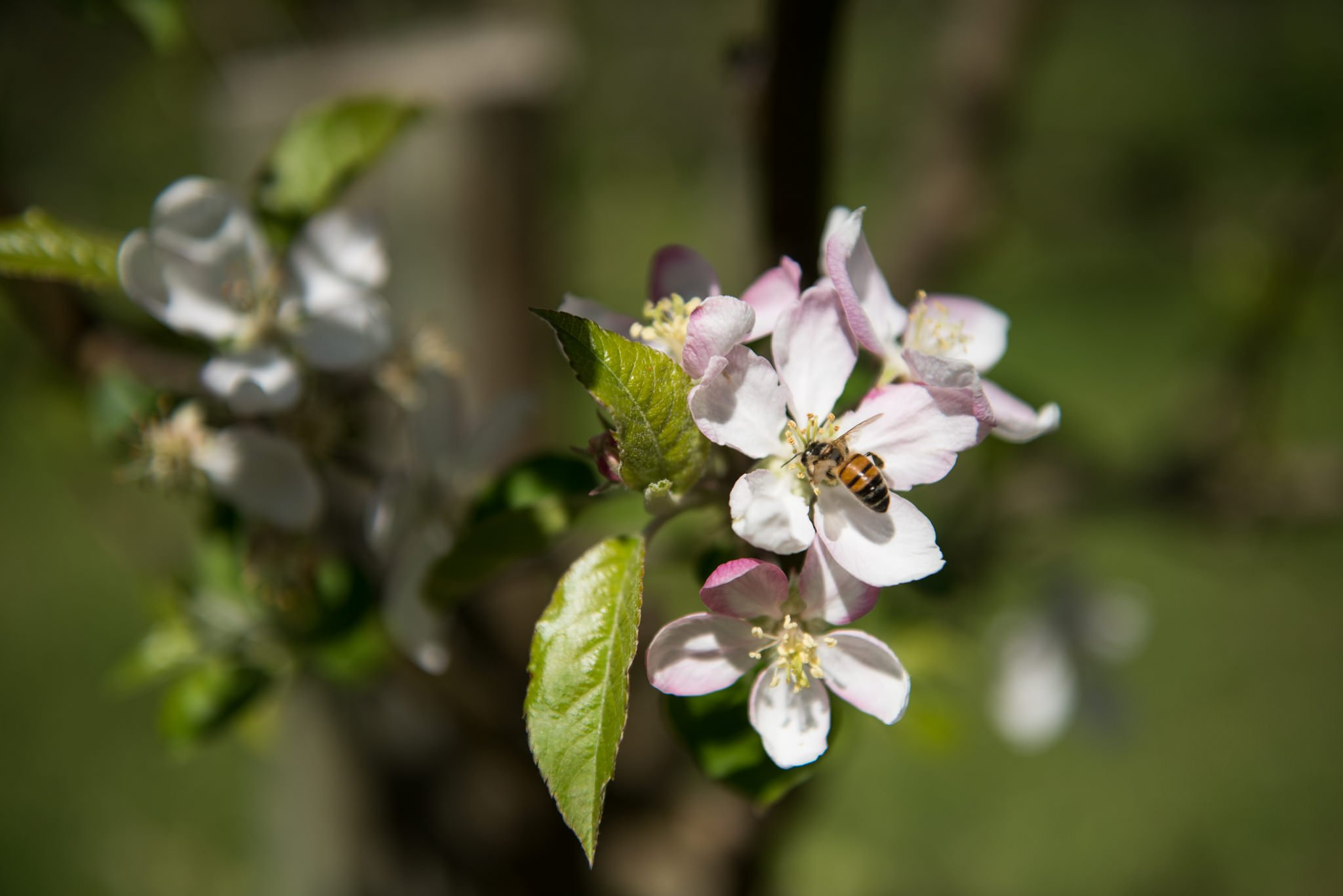 bee in appleblossom